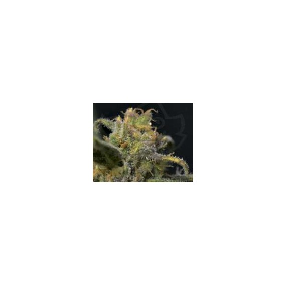 CBD Seeds - Auto Northern (6f)