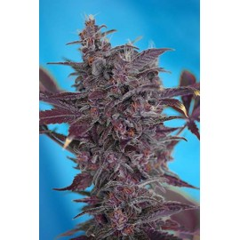Sweet Seeds - Black Cream Auto (5+2 promo)