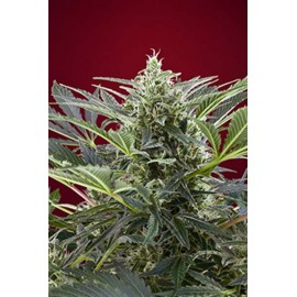 Sweet Seeds - Cream 47 (3+1 promo)