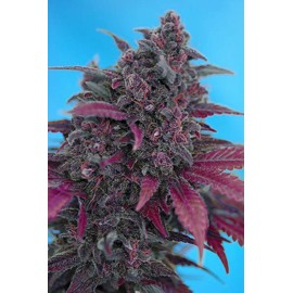 Sweet Seeds - Dark Devil Auto (5+2 promo)