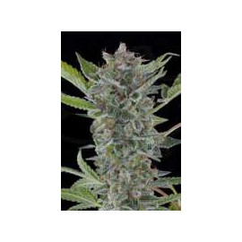 Dinafem - White Widow Automatica (3f)