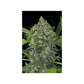 Dinafem - White Cheese Automatica (3f)