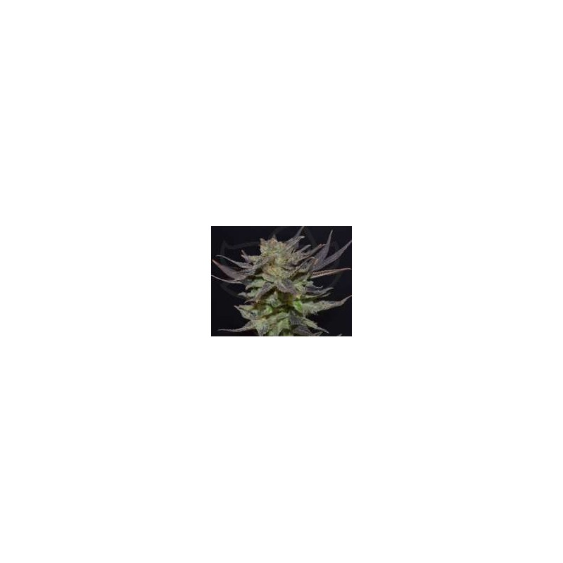 CBD Seeds - Auto Lavender (3f)