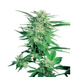 Sensi Seeds - Big Bud (5f)