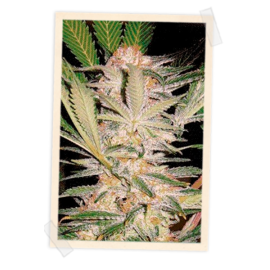 Sweet Seeds - S.A.D (5+2 promo)