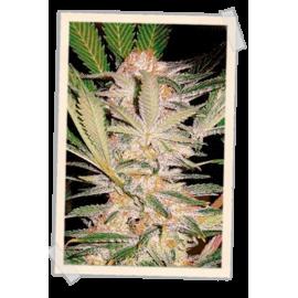 Sweet Seeds - S.A.D (5+2 promo)