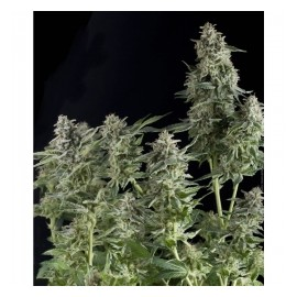 Pyramid Seeds - Auto Northen Lights (1f)