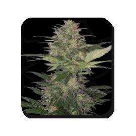 Buddha Seeds - Blister Red Dwarf (10f)